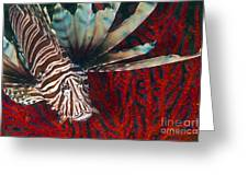 An Invasive Indo-pacific Lionfish Greeting Card