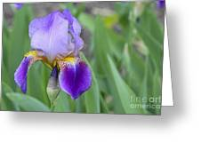 An Iris Blossom Greeting Card
