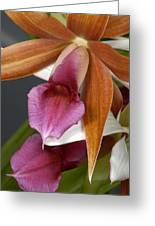 An Orchid, Probably A Cattleya Hybrid Greeting Card