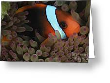 Anemonefish In Purple Tip Anemone Greeting Card