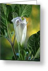 Angel's Trumpet Bud Greeting Card