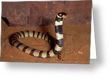 Angolan Coral Snake Defensive Display Greeting Card
