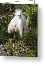 Angry Bird Snowy Egret In Breediing Plumage Greeting Card