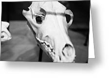 Animal Skull Greeting Card