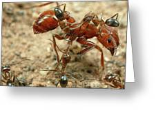 Ant Dorymyrmex Sp Workers Climbing Greeting Card