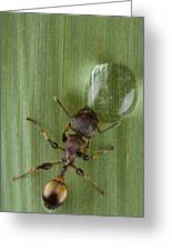 Ant Drinking From Water Droplet Papua Greeting Card by Piotr Naskrecki