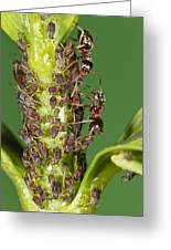 Ant Formicidae Pair Protecting Aphids Greeting Card