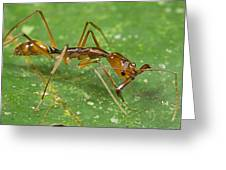Ant Showing Large Mandibles Guyana Greeting Card