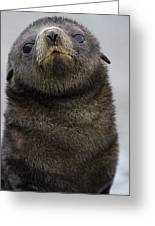 Antarctic Fur Seal Arctocephalus Greeting Card