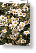 Anthemis Carpatica 'karpaten Schnee' Greeting Card
