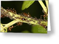 Ants Tending Aphids Greeting Card