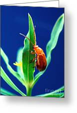 Aphthona Flava Flea Beetle On Leafy Greeting Card