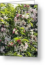 Apple Blossom (malus 'pom Zai') Greeting Card