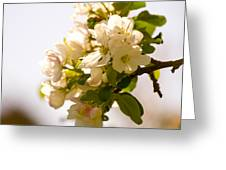 Apple Blossoms 9 Greeting Card