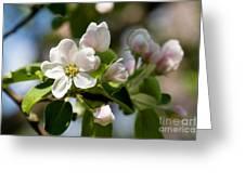 Apple Tree Flowers Greeting Card