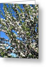 Apple Tree In Bloom Greeting Card
