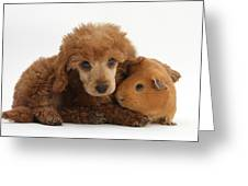 Apricot Miniature Poodle Pup With Red Greeting Card