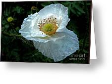 Arctic Poppy Greeting Card