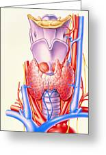 Artwork Showing The Thyroid Gland Greeting Card