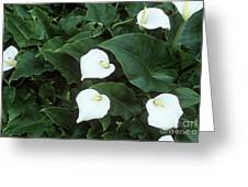 Arum Lily (zantedeschia Aethiopica) Greeting Card