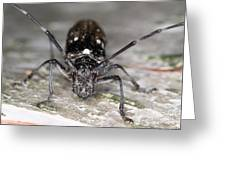 Asian Long-horned Beetle Greeting Card