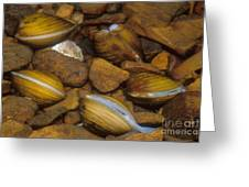 Asiatic Clam Greeting Card
