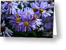 Aster Dew Drops Greeting Card