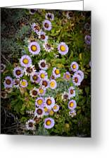 Aster On The Beach Greeting Card