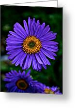 Aster Trio Greeting Card
