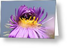 Asters Starting To Bloom Close-up Greeting Card
