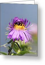 Asters Starting To Bloom Greeting Card