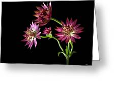 Astrantia Greeting Card