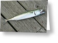 Atlantic Mackerel Scomber Scombrus Greeting Card
