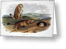 Audubon: Prairie Dog, 1844 Greeting Card