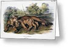 Audubon: The Cougar Greeting Card