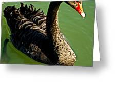 Australian Black Swan Greeting Card