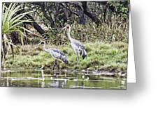 Australian Cranes At The Billabong Greeting Card