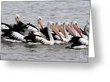 Australian Pelicans Greeting Card