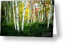 Autumn Birch Grove Greeting Card