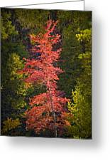 Autumn Scene Of Colorful Red Tree Along The Little Manistee River In Michigan No. 0902 Greeting Card