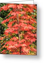 Autumnal Acer Greeting Card