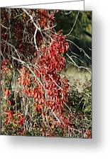 Autumns Red Vines Greeting Card