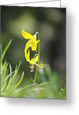 Avalanche Lily Greeting Card