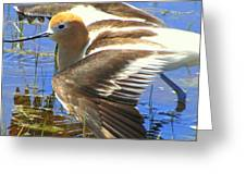 Avocet On Display Greeting Card