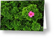 Azalea On Boxwoods Greeting Card