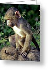 Baboon Baby Greeting Card