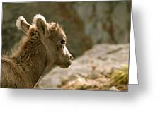 Baby Big Horn Sheep Greeting Card