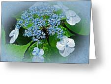 Baby Blue Lace Cap Hydrangea Greeting Card