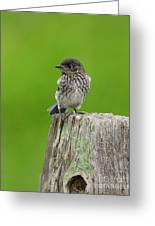 Baby Bluebird On Post Greeting Card