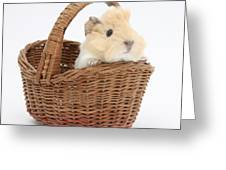 Baby Guinea Pig In A Wicker Basket Greeting Card